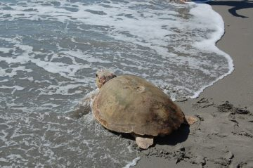Several Loggerhead Sea Turtles Are Back Home in the Atlantic After Being Successfully Rescued and Rehabilitated. One of the Lucky Loggerheads Was Actually Rescued Back in February by Florida Fish…