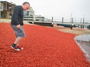 Countless Numbers of Red Tuna Crabs Wash Ashore in California