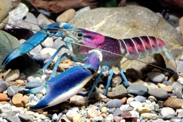 After a Decade of Research, German Scientist, Christian Lukhaup, Has Officially Identified the Cherax Pulcher