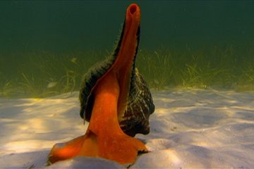 The Giant Horse Conch Weighs over Eleven Pounds – That's a Lot of Mollusk. The Conch Has a Taste for Snails, So when the Tiny Tulip Snail Spots One Of…