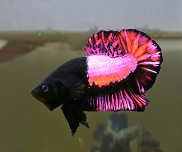 "Self-described ""fish-a-holic"" William Falter of Fishers, Indiana, Announced Today That His Crossbreeding Program to Create Designer Betta Fish Had Been a Success. Described As a ""pretty in Pink"" Plakat Betta,…"