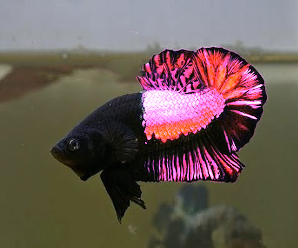 Pretty in pink betta emerges classification confuses for Rare types of betta fish
