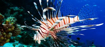State Wildlife Regulators Today Banned the Import of Live Lionfish and Enacted Several Other Countermeasures to Help Combat the Fierce Fish's Invasion of Florida Waters. Lionfish, Native to Pacific And…