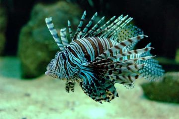 Marine Biologiests, Conservationists, Divers, and Hobbyists, Are Fighting the Good Fight Against the Voracious Lionfish (pterois Volitans) Which Have Invaded the Atlantic Ocean – from Florida, to Rhode Island, To…