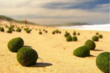 """Cited As """"green Alien Balls"""" by 7news, Better Known Asjapanese Moss Balls, Recently Flooded the Beach at Dee Why, Just Outside of Sydney, Australia. Thousands of These Small, Green Orbs,…"""