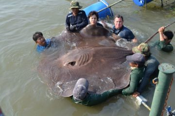 Giant 14-ft 800 Lb Freshwater Stingray