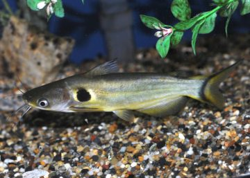 Ompok Bimaculatus