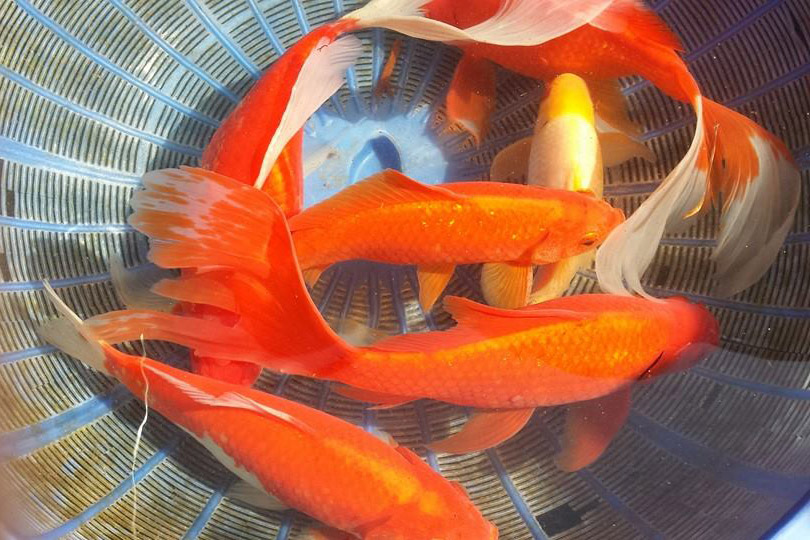 Pond fish stolen from florida pet store cflas for Florida tropical fish farms