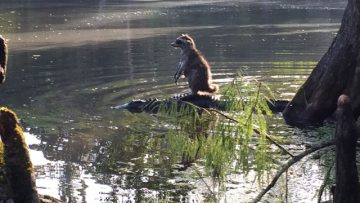 A Raccoon Sitting Atop an Alligator; Definitely the Photo of a Lifetime