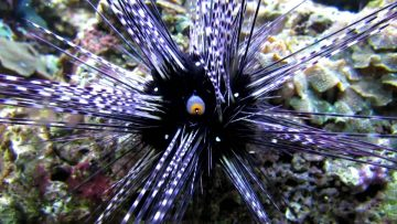 All Life Evacuates Waste from Its Body in Some Form. Sea Urchins Are No Exception.