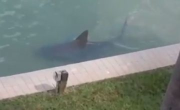 Bonita Springs Resident, Richard Frey, Had Quite a Shock when He Looked in His Back Yard to Find an Nearly 9 Foot Long Bull Shark Swimming Behind His Condominium. In…