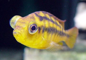 Pop-eye or Exophthalmia This is a Common Affliction of Large Central and South American Cichlids, As Well As Large Cyprinids Like Goldfish, Carp and Koi. While Parasites Can Be Responsible…